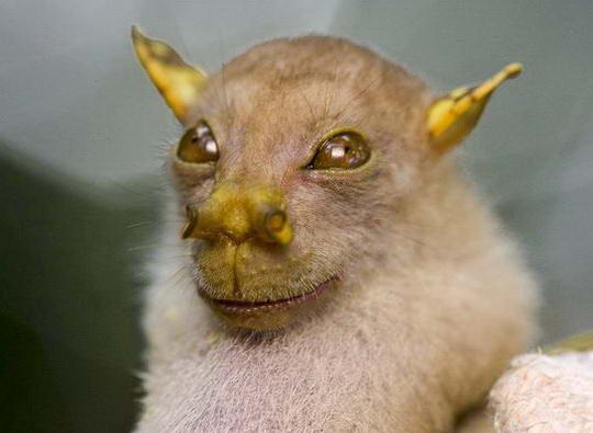 http://4.bp.blogspot.com/-oBcTDxBe8fs/TbadGBR7TPI/AAAAAAAAO3w/poTtl8unS-g/s1600/papua-new-guinea-new-species-bat_27185_600x450.jpg