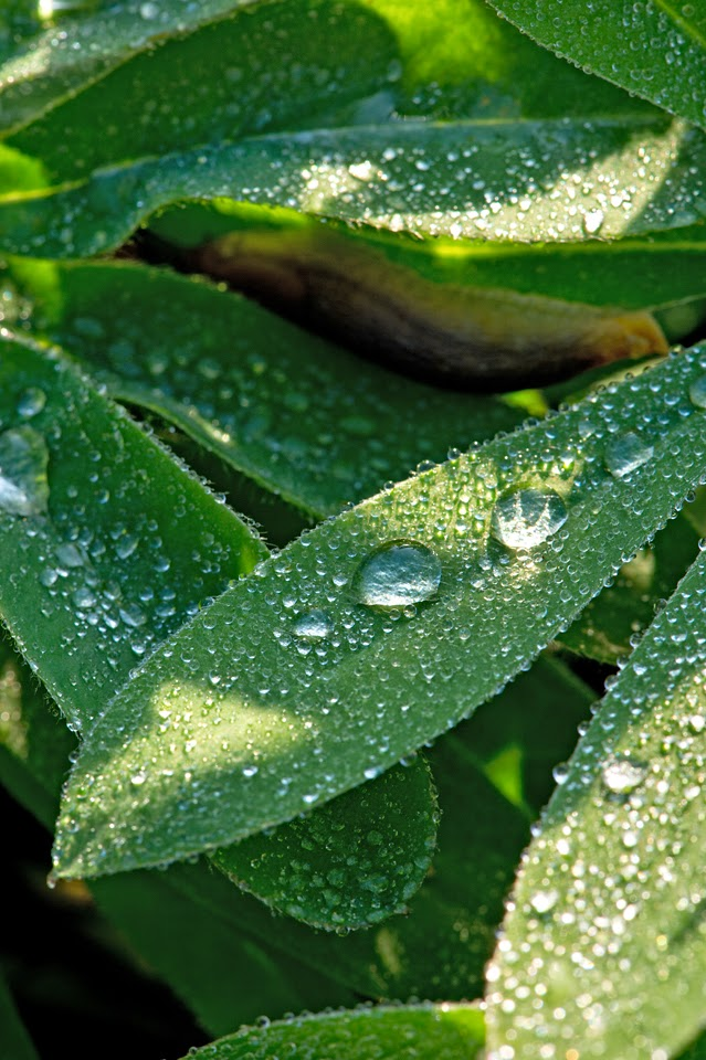 Nova Scotia; Dew; Morning Dew