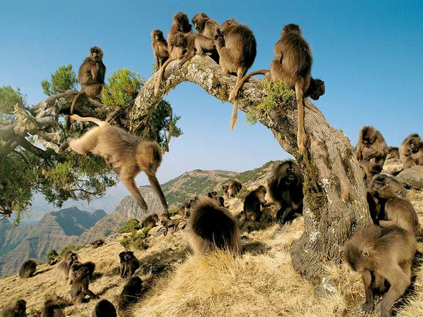 Gelada