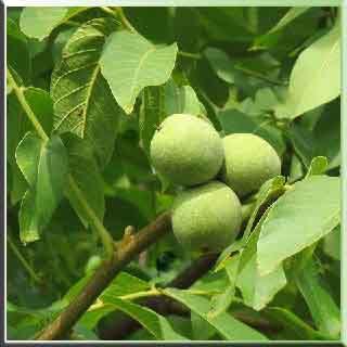 ceviz ağacı    rüyada ceviz    rüyada ceviz görmek    ceviz fidanı    ceviz kabuğu    ceviz yetiştiriciliği   ceviz kabuğu  ceviz  yararları  ceviz  zararları  ceviz faydaları