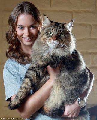 Maine Coon Mapache e Gato Gigante da Noruega - Compre