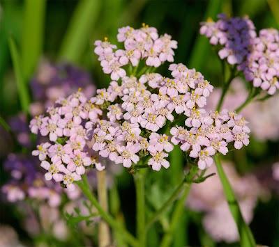 Yarrow Achillea millefolium pink