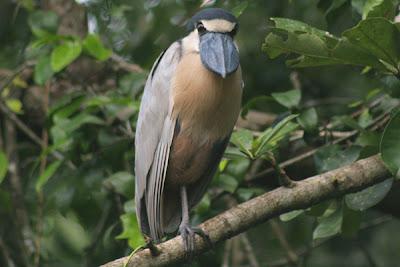 Foto: garza pico de bota (Cochlearius cochlearius)