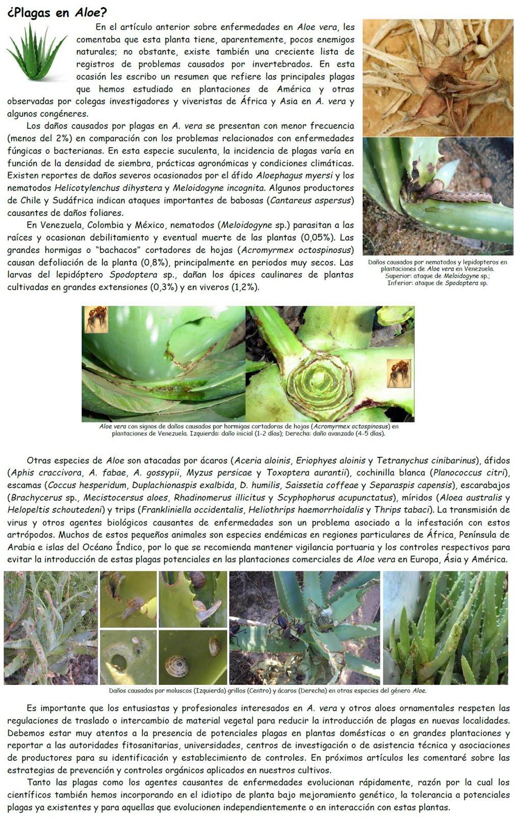 Plagas en Aloe