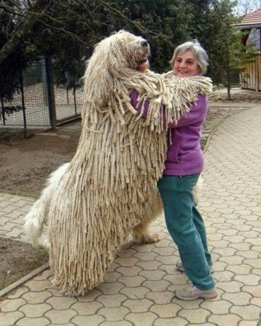 Giant white furry dog standing bigger than woman
