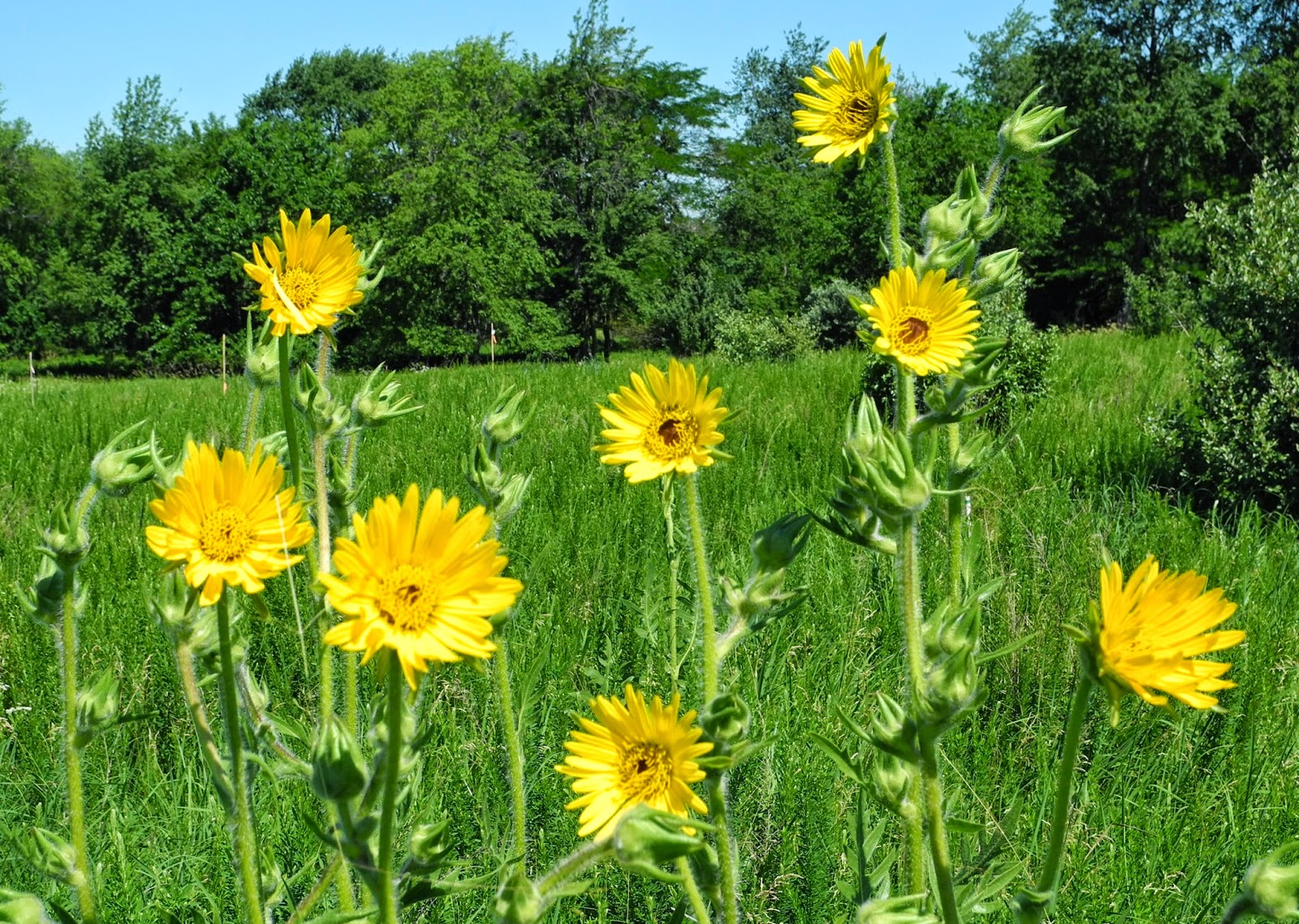 Http Phytophactor Fieldofscience Com 2013 06 Friday Fabulous Flower Compass Plant Html