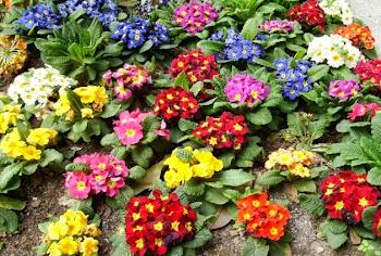 Çuha Çiçeği Faydaları Nelerdir?