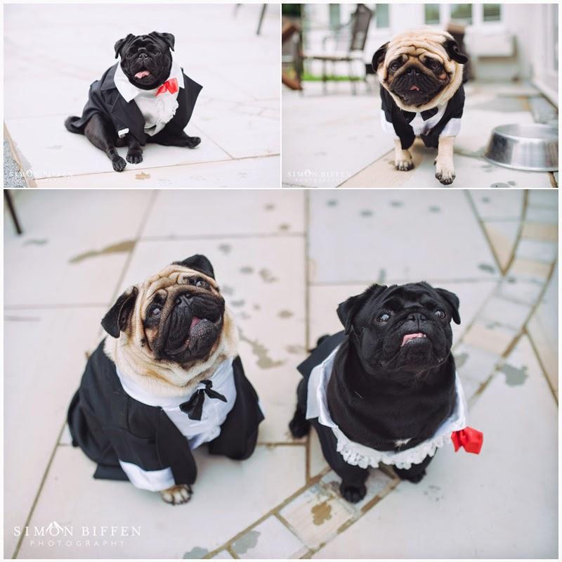 Pugs in dinner jackets