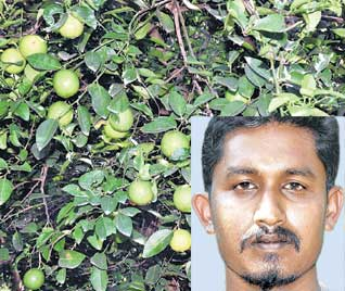 elumichai maram sagubadi in tamilnadu vivasayam velanmai thagavalgal thozhil