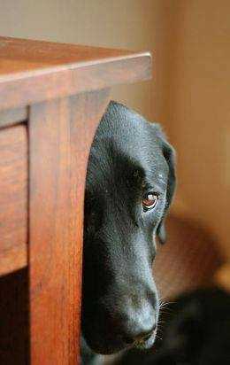 Black dog hiding behind a table