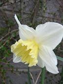 Daffodil no 7