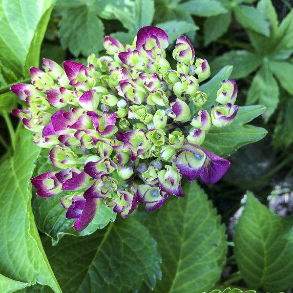 hortensia, hydrangea