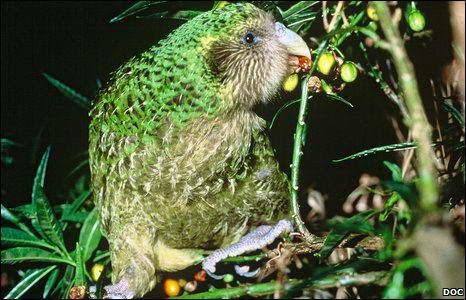 Hewan Langka Kakapo