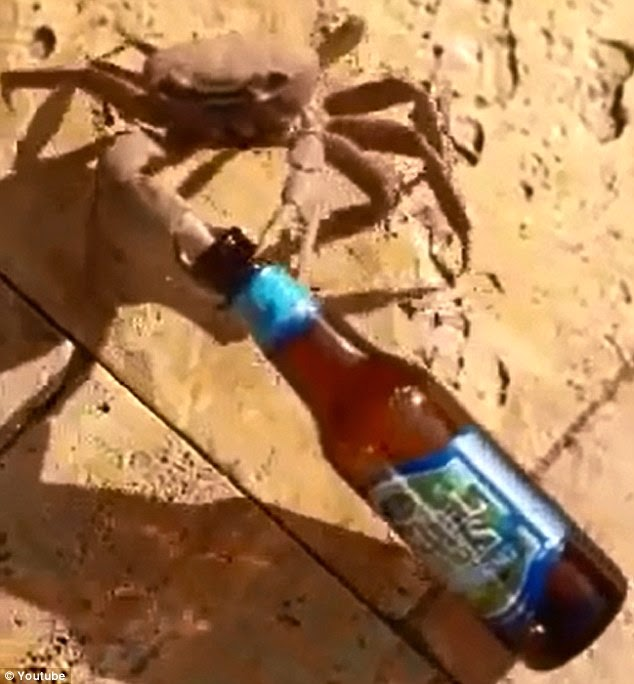 Crab-steals-dudes-beer-bottle