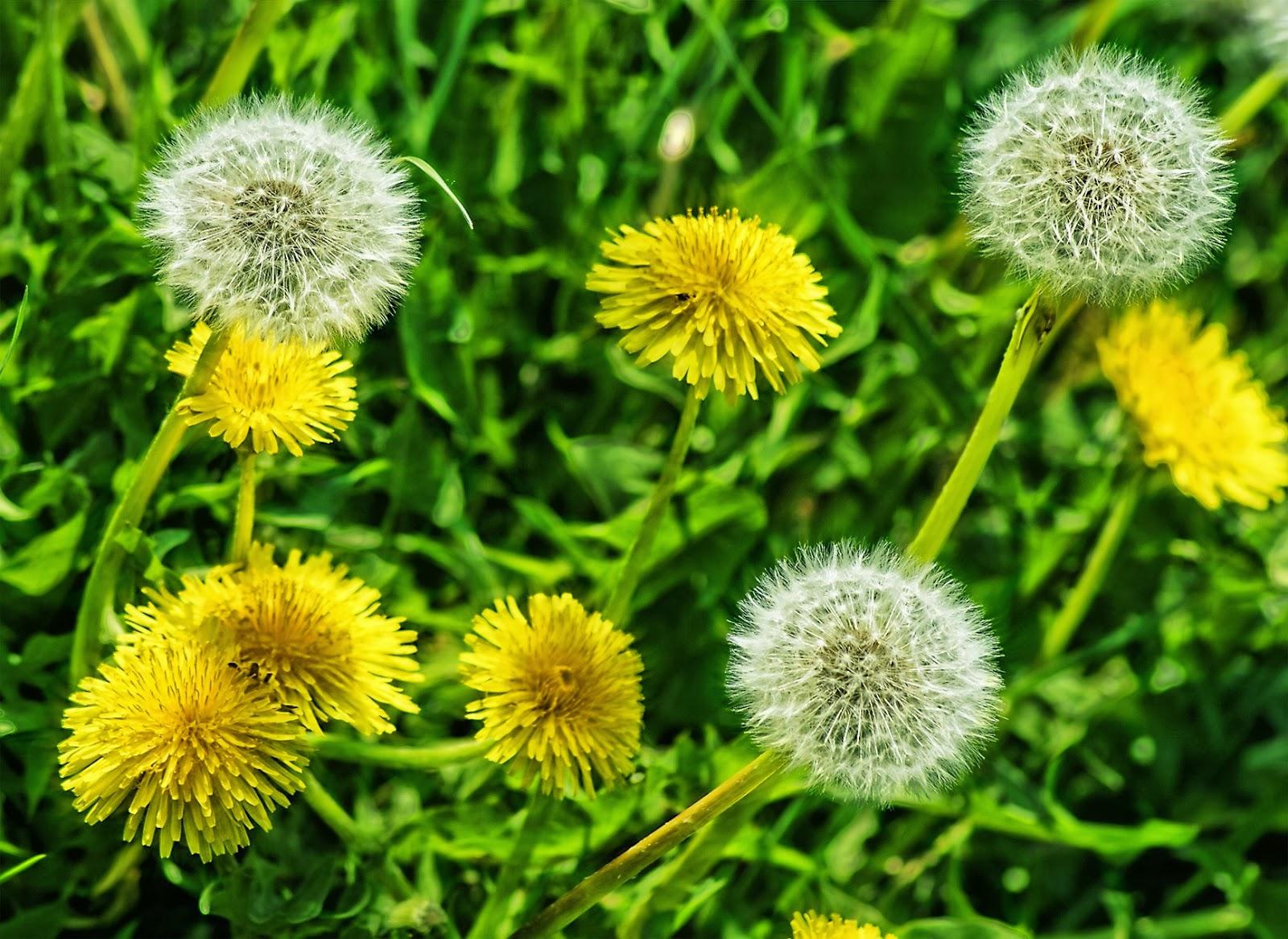 plantas medicinales, propiedades diente de leon