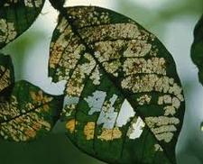 Macam-macam Hama dan Penyakit pada Tumbuhan