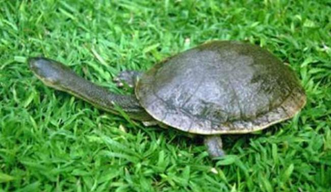 Indikator perdagangan kura-kura