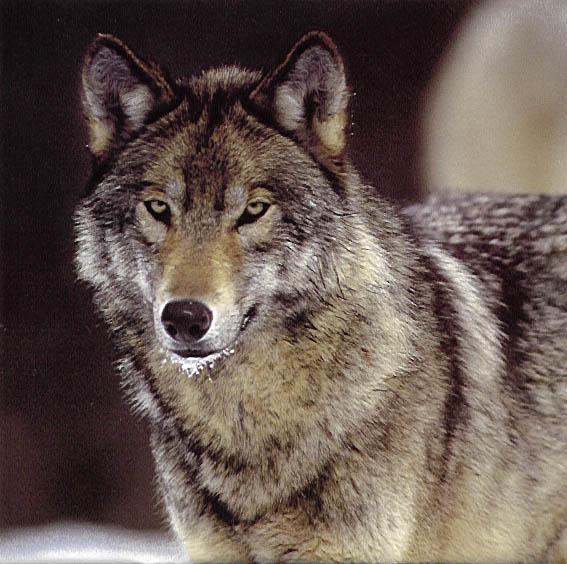 Wolf   Animal Wildlife