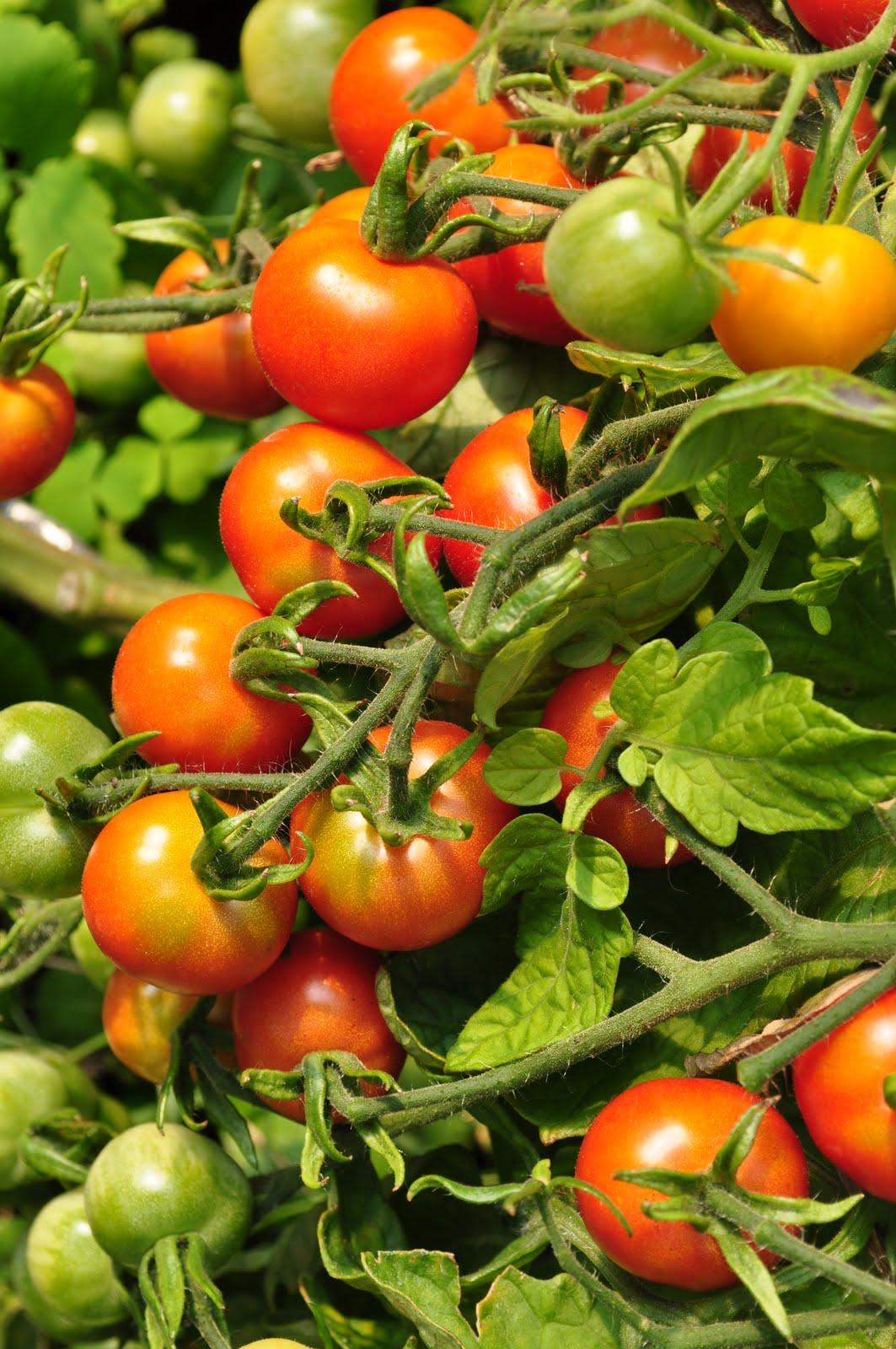 von rosen und dornen die tomaten sind reif. Black Bedroom Furniture Sets. Home Design Ideas