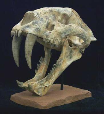 Machairodus skull