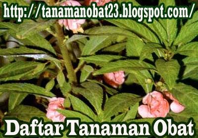Tanaman Obat Pacar Air  (Impatiens balsamina Linn.)