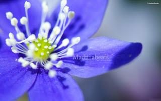 Flower images, Wide screen wallpapers,fresh flowers,Beautiful flowers,Purple+flower+closer+look_wide screen ,