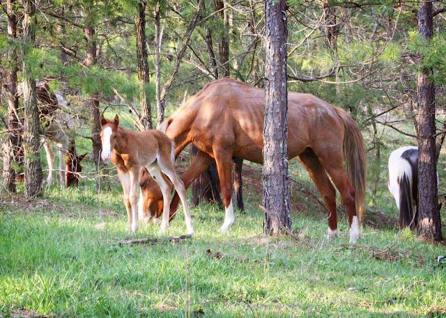 wild horses colt West Virginia