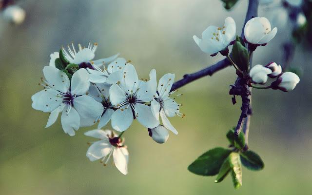 Foto met bloemen aan de tak van een boom in de lente