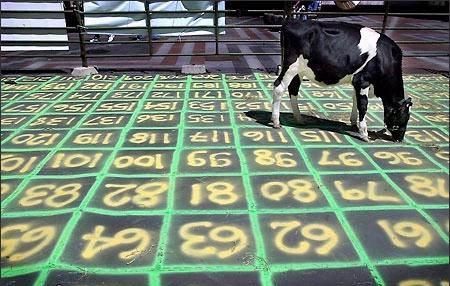 Cow+Pie+Bingo Saddle Bronc   Cole Peterson. Cow riding   Levi Speir