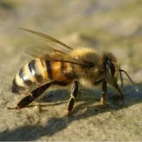 More free to use bee images