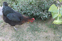 Miss Ethel-Laying Hen