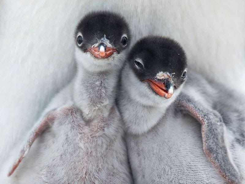 Gentoo Penguin Chicks, Antarctica