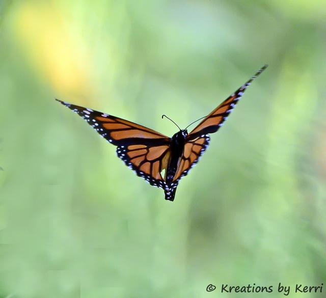 A Little Piece of Me: Monarch Butterfly In Flight - A ...