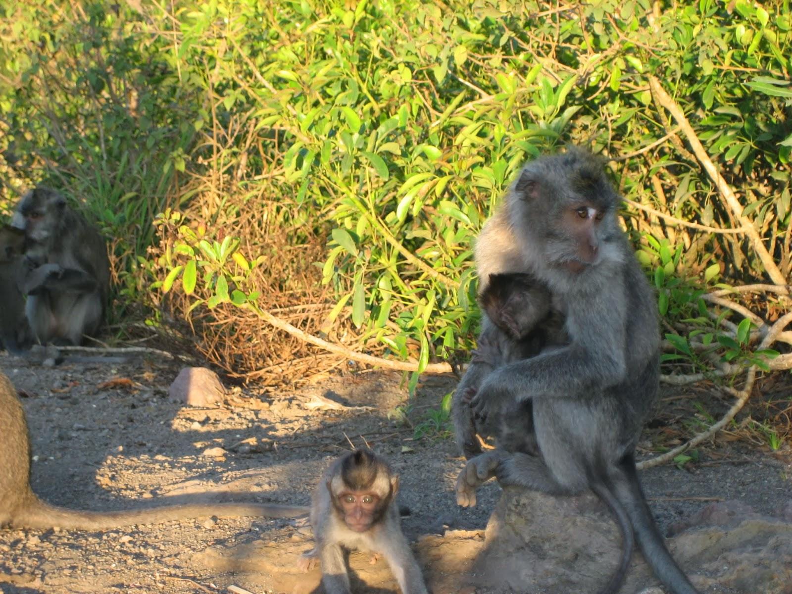 mt-batur-monkeys-sunrise-trek-bali-volcano