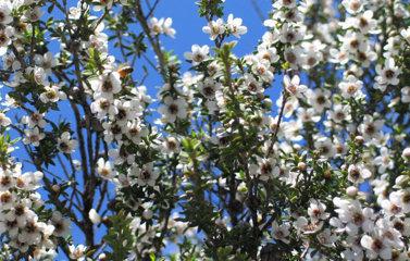 白く花咲く「マヌカの森」