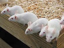 白ネズミが誕生する理由?