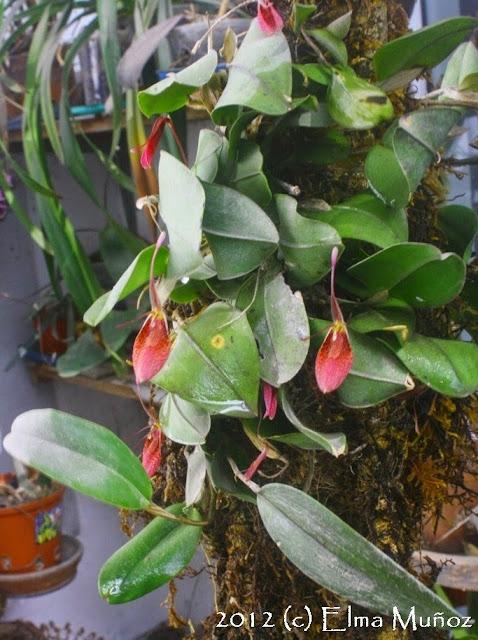 Restrepia sp. Foto de orquidea peruana