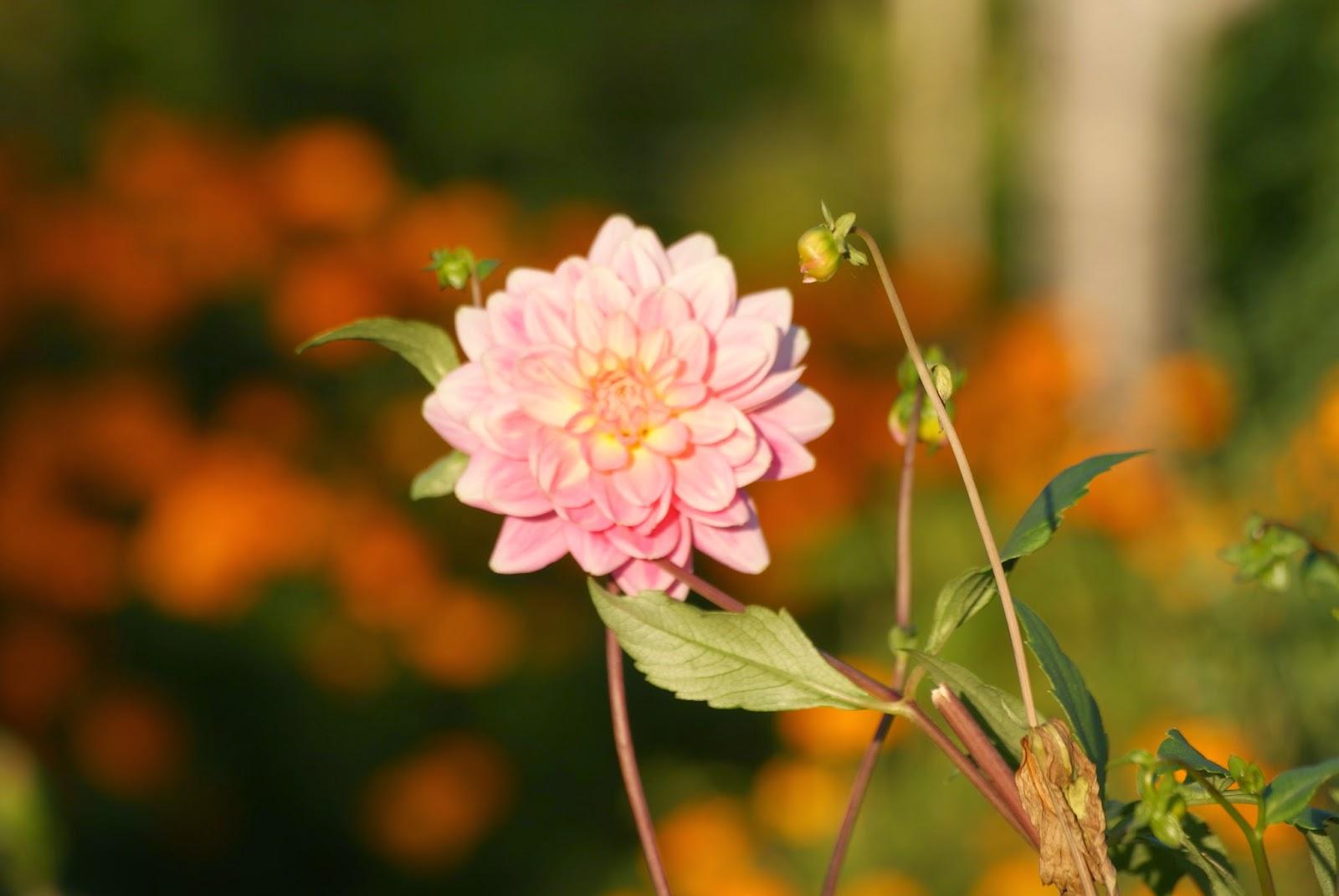 macro photography little pink flower