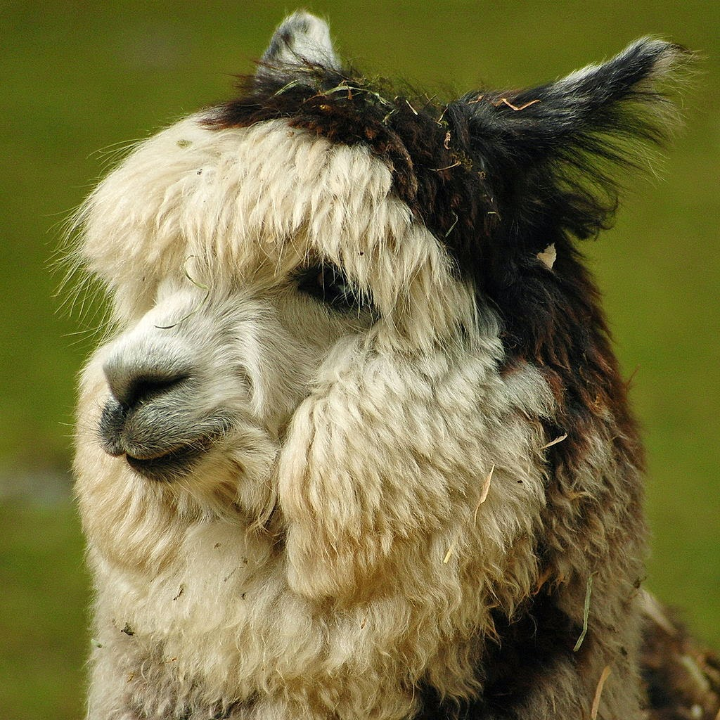 Alpaca headshot white alpaca with brown fleece on head and ears resembling an Easter bonnet  Free Wikipedia image