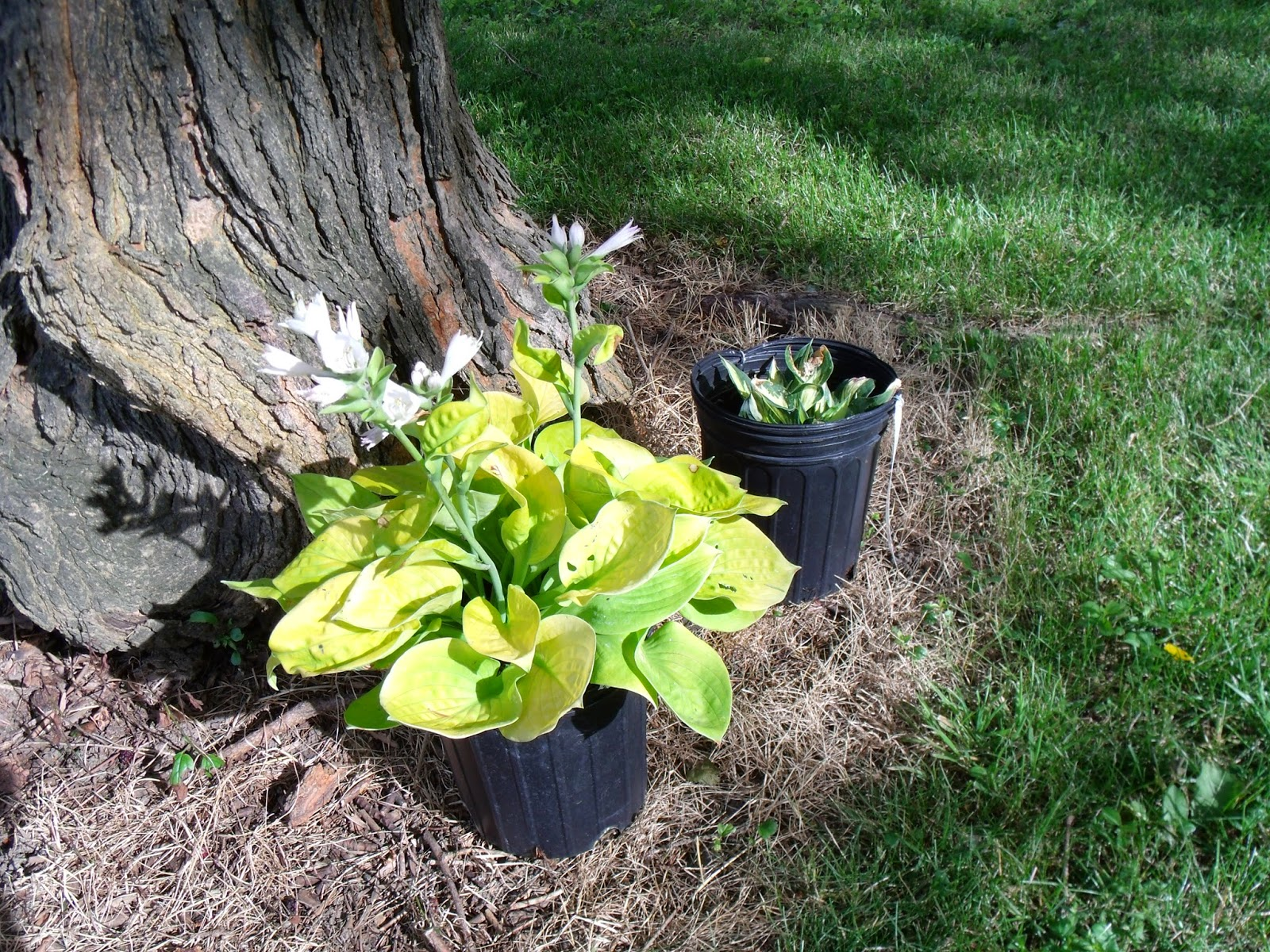 Gear Acres Dividing Hostas And Getting More For Your