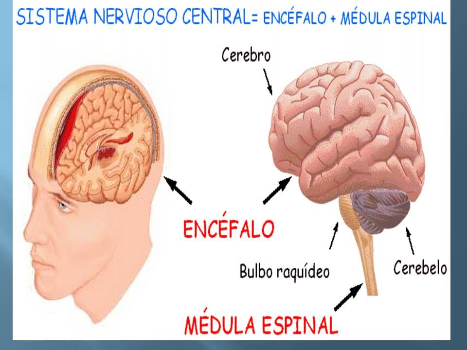 Lujoso Mediados De La Anatomía Del Cerebro Ornamento - Anatomía de ...