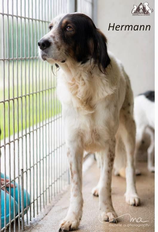 setter inglese cane adozione