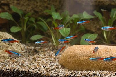 Neon Innesa - ryby akwariowe - zdjęcia 01