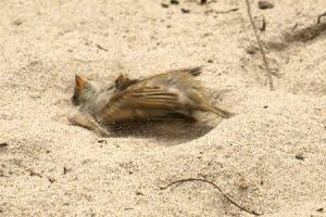 Mengenalkan mandi pasir pada burung kacer