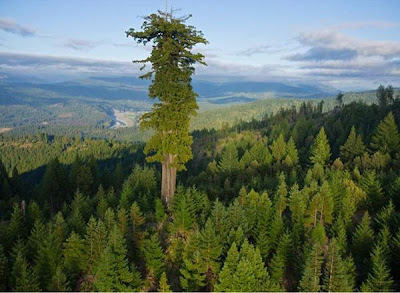 tallest ttree coast redwood from a distance
