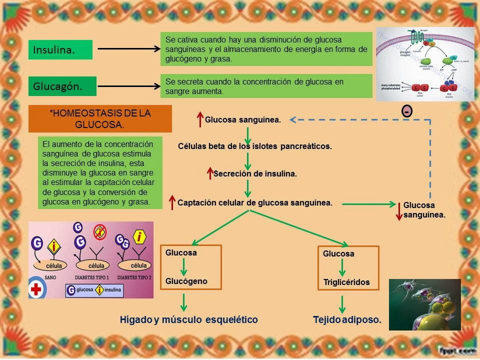 PÁNCREAS. | Blog de Fisiología Médica