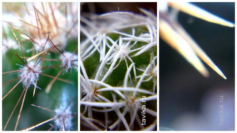 для чего кактусам колючки