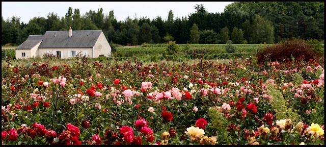 Rose nursery near the village of Francueil.