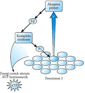 Aliran elektron siklik reaksi terang