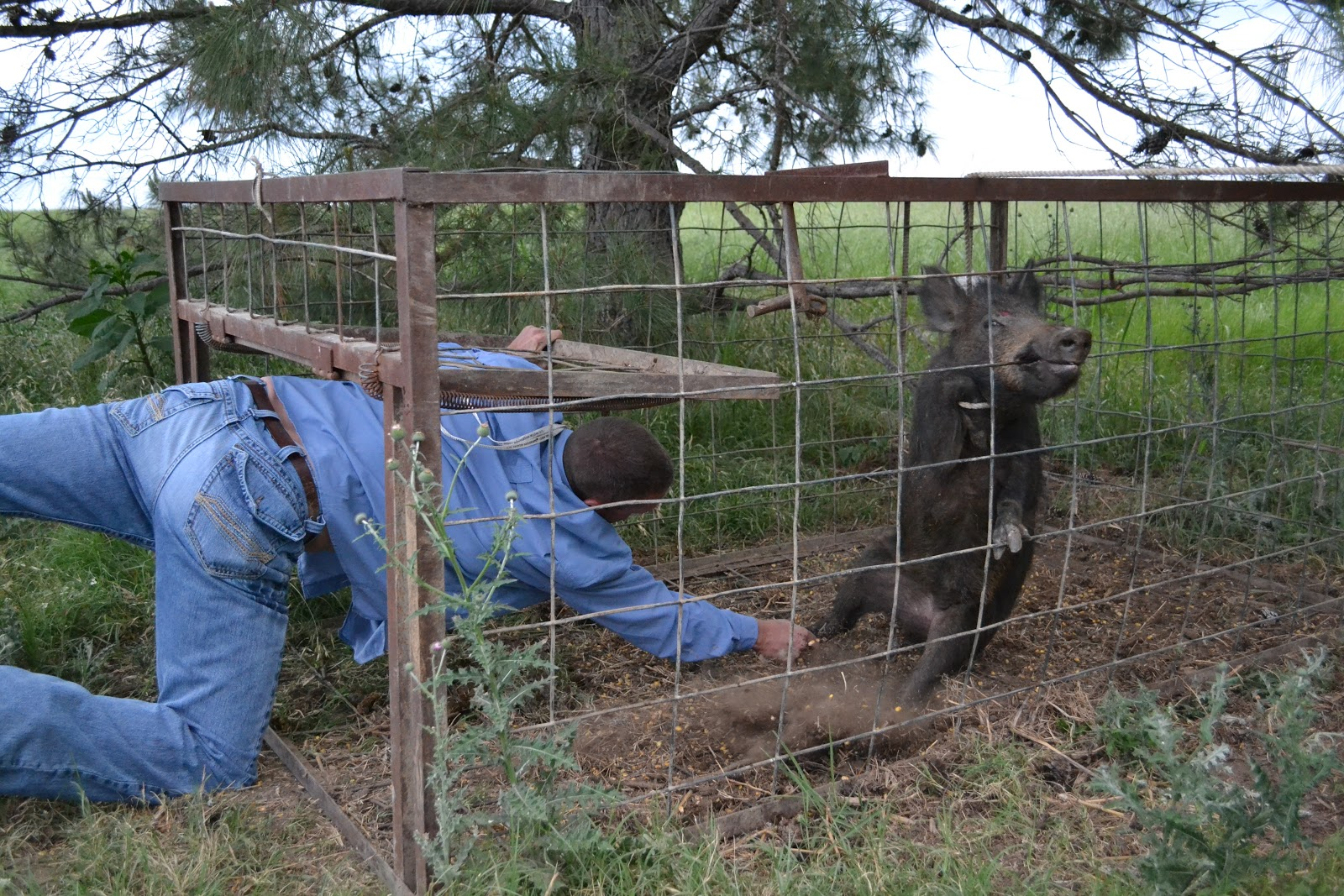 living lightly in williamson county hunting hogs